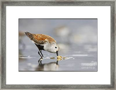 A Feeding Dunlin Framed Print by Tim Grams