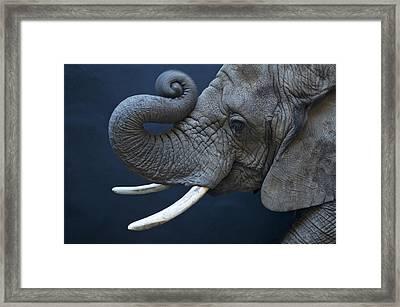 A Female African Elephant, Loxodonta Framed Print by Joel Sartore