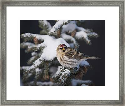 A Female Common Redpoll  Carduelis Framed Print