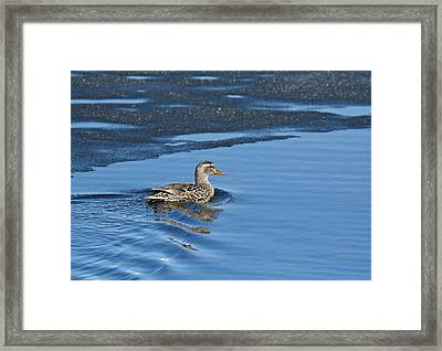 Framed Print featuring the photograph A Female Mallard In Thunder Bay by Michael Peychich