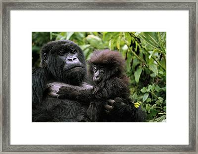 A Female Mountain Gorilla And Her Child Framed Print by Michael Nichols
