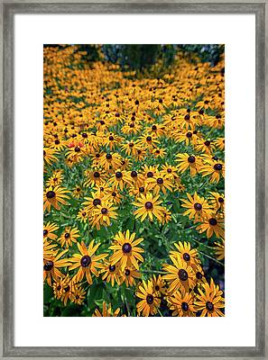 A Field Of Black-eyed-susans Framed Print