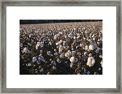 A Field Of Fluffy Cotton Plants Framed Print by Medford Taylor