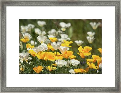 Framed Print featuring the photograph A Field Of Golden And White Poppies  by Saija Lehtonen