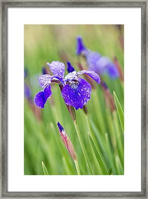 A Field Of Iris Framed Print