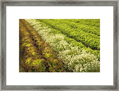A Field Of Mixed Organic Lettuce Framed Print by Inga Spence