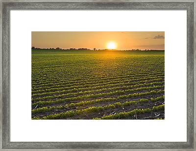 A Field Of Young Soybean Plants Framed Print