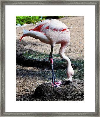 A Flamingos Take On A Headstand Framed Print