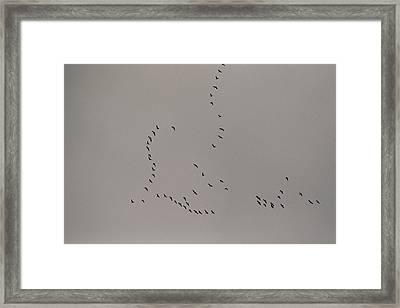 A Flock Of Tundra Swans Fly Framed Print by Raymond Gehman