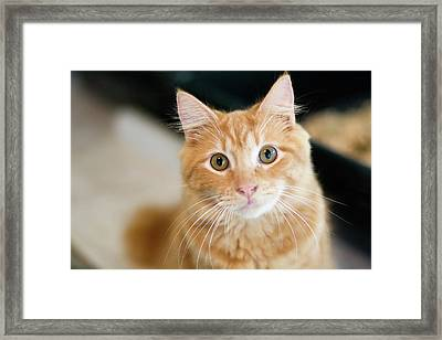 A Fluffy Orange Cat Looking At The Camera Framed Print by Lysandra Cook