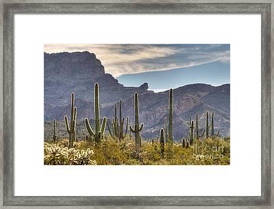 A Forest Of Saguaro Cacti Framed Print