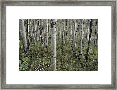 A Forest Of White Birch Trees Framed Print by Todd Gipstein