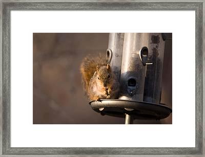 A Fox Squirrel Sciurus Niger Grabs Framed Print