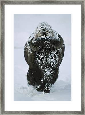 A Frost-covered American Bison Bull Framed Print
