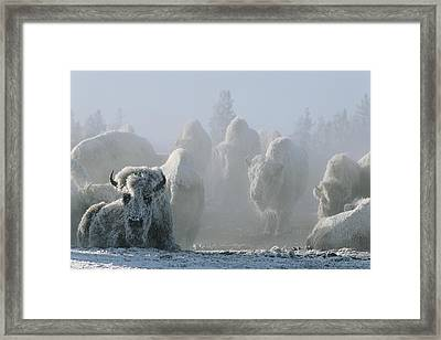 A Frost-covered Herd Of American Bison Framed Print