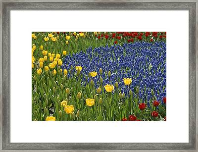 A Garden Of Colorful Tulips And Grape Framed Print by Raul Touzon