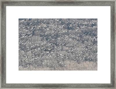 A Gathering Of Snow Geese  Framed Print