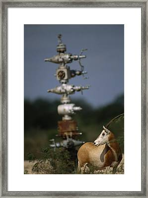 A Gemsbok Standing Near A Natural Gas Framed Print by Joel Sartore