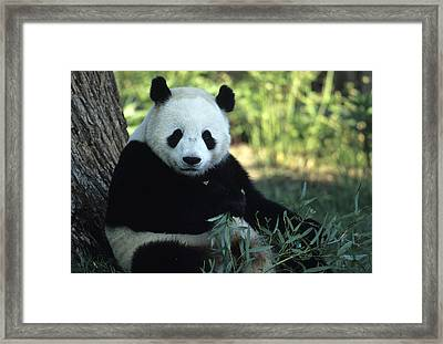 A Giant Panda Eating Bamboo Framed Print by Taylor S. Kennedy