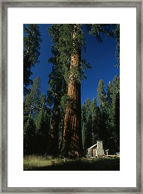 A Giant Sequoia Tree Towers Framed Print by Phil Schermeister