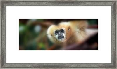 A Gibbon's Stare Framed Print