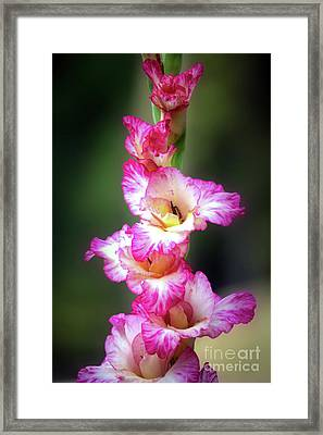 A Gladiolus Framed Print