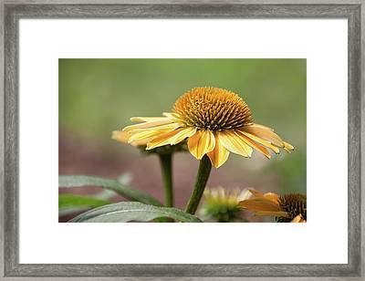 A Golden Echinacea -  Framed Print