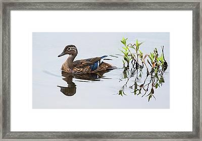 A Graceful Swim Framed Print