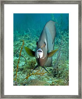 A Gray Angelfish In The Shallow Waters Framed Print by Michael Wood