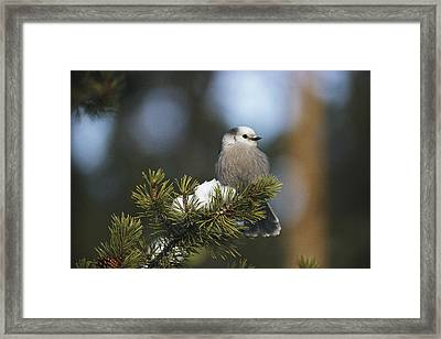 A Gray Jay, Also Known As A Canada Jay Framed Print by Michael S. Quinton