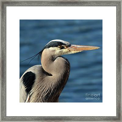 A Great Blue Heron Posing Framed Print