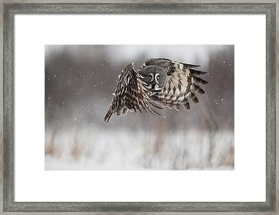 A Great Gray Owl In Flight Framed Print