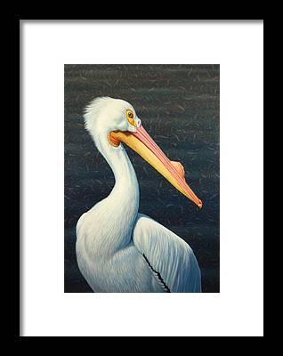American White Pelican Framed Prints