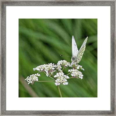 A Green-veined White (pieris Napi) Framed Print by John Edwards