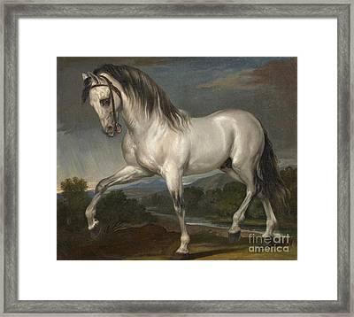 A Grey Stallion  Framed Print
