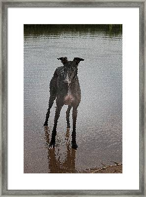 A Greyhound's Play Time Framed Print by Andrea Lawrence