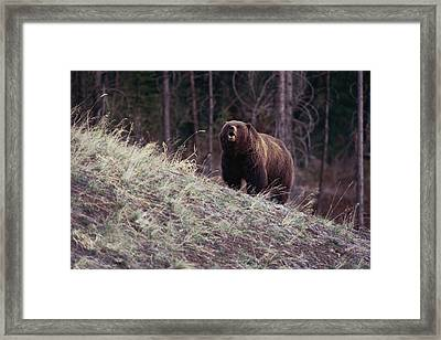 A Grizzly Bear Approaching The Crest Framed Print by Bobby Model