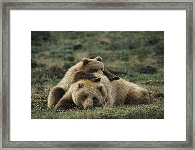A Grizzly Bear Cub Stretches Framed Print by Michael S. Quinton