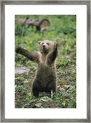 A Grizzly Bear Cub Ursus Arctos Framed Print