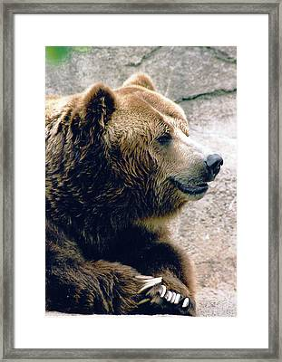 A Grizzly Grin Framed Print