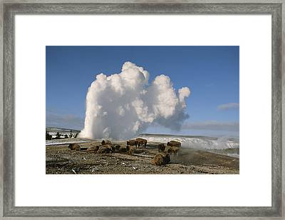 A Group Of American Bison Rest Framed Print