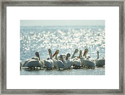 A Group Of American White Pelicans Framed Print by Klaus Nigge