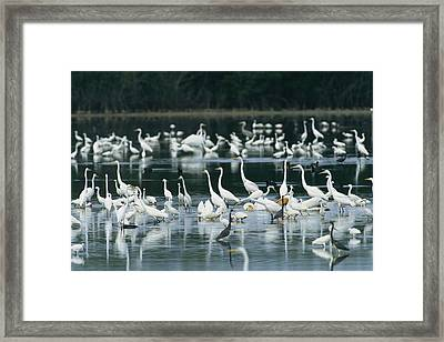 A Group Of Egrets, Herons,  Ibises Framed Print