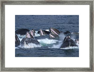 A Group Of Humpback Whales Bubble Net Framed Print