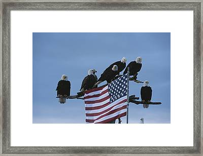 A Group Of Northern American Bald Framed Print by Norbert Rosing