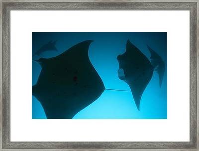 A Group Of Silhouetted Manta Rays Framed Print by Heather Perry