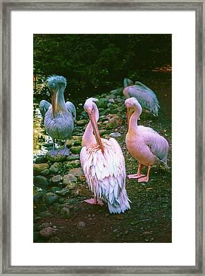 a group of swans near the pond on a Sunny summer day Framed Print