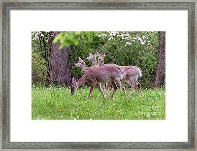 A Group Of White Tailed Deer Grazing Framed Print by George Oze