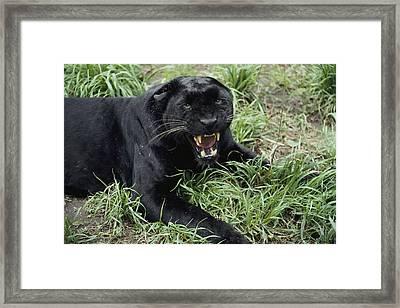 A Growling Captive Black Leopard Framed Print by Jason Edwards
