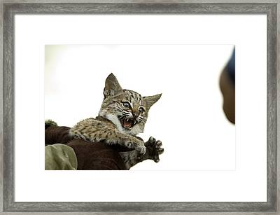 A Hand-raised Bobcat Reacts As Its Held Framed Print by Joel Sartore